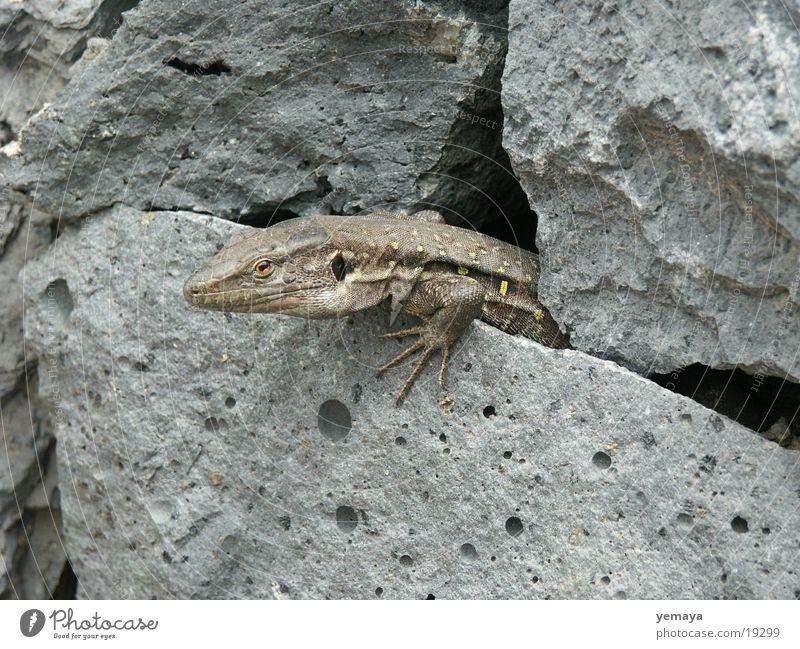 Stone Wall (barrier) Dragon Reptiles Saurians Lizards Tenerife Stone wall