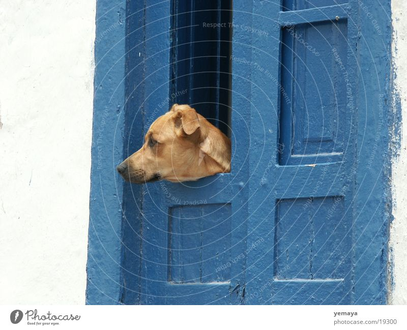 watchdog Dog Tenerife Guard Crossbreed Wall (building) Entrance Door Blue Watchdog