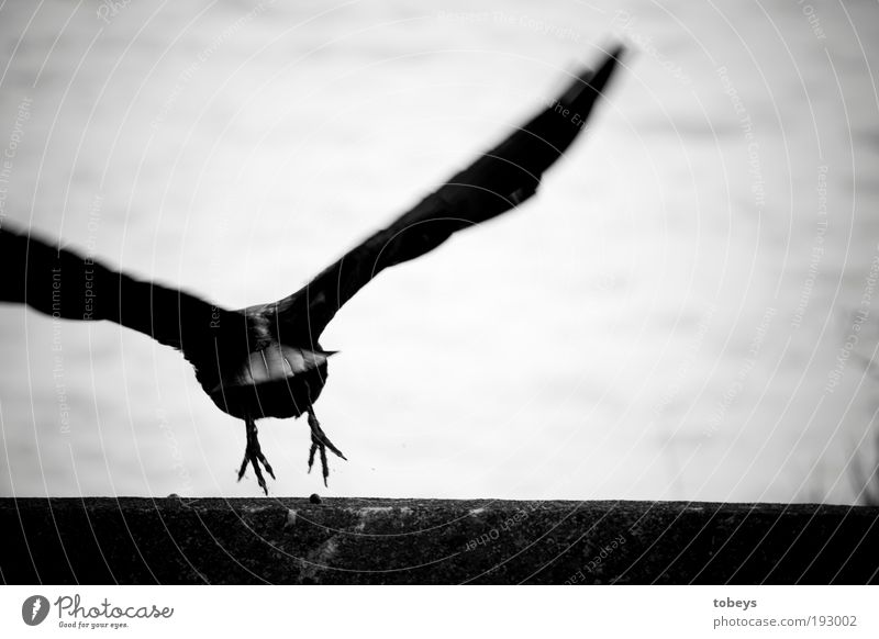 departure Flying Raven birds Crow Bird Aviation Hover Depart Claw Feather Animal Wing Escape Black & white photo Exterior shot Close-up Motion blur
