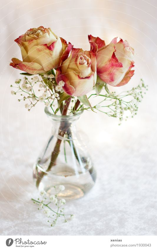 Three roses in glass vase on white tablecloth Bouquet Flower Rose Blossom flower water Baby's-breath Fragrance Bright Green Pink Red White Joy 3 Vase Velvet