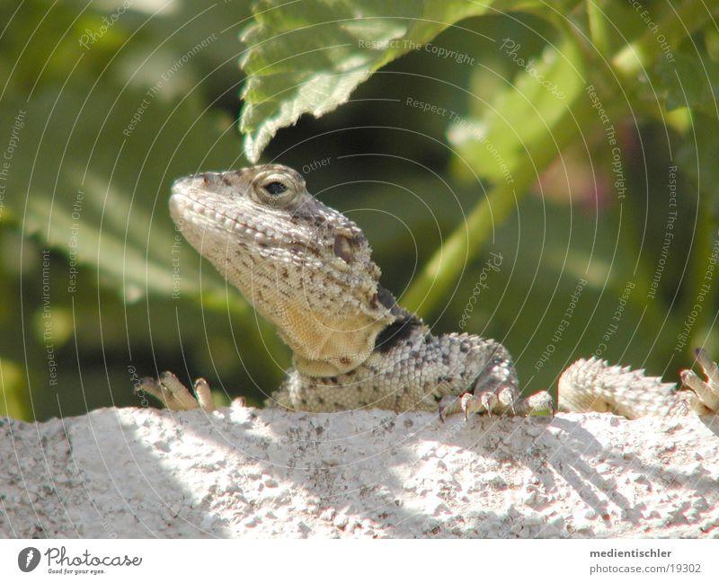 Animal Reptiles Saurians Lizards