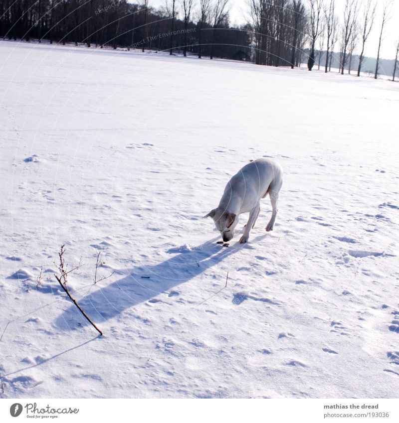 FOUND SOMETHING Environment Nature Landscape Sky Sun Winter Beautiful weather Ice Frost Snow Tree Meadow Field Animal Pet Dog 1 Cold Odor Tracks White