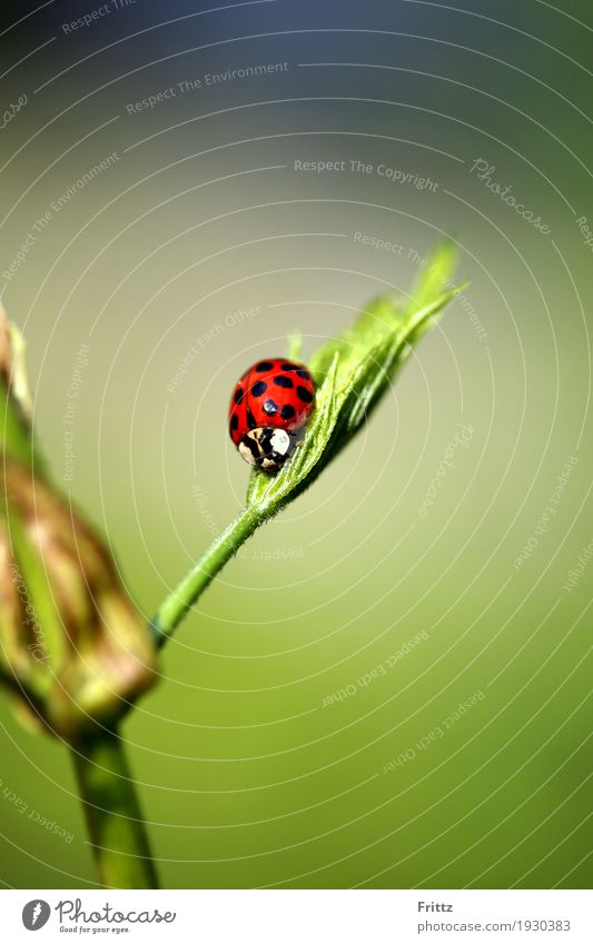 Ladybird seat Animal Wild animal Beetle 1 Sit Authentic Beautiful Green Red Black Love of animals Peaceful Attentive Nature red beetle with black dots rest