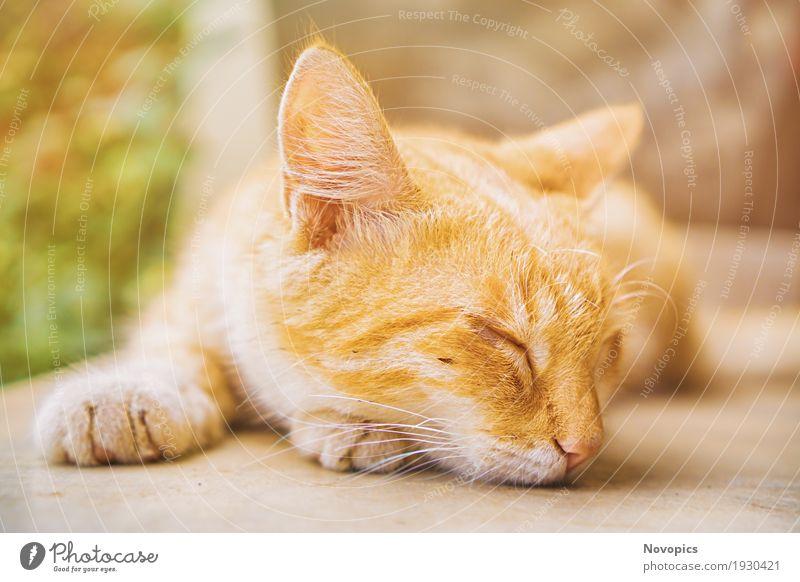 Cat Nature Animal Cute Sleep Pet Domestic cat Tiger 2016