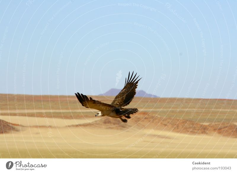 Hunting Elegant Far-off places Freedom Nature Landscape Cloudless sky Desert Animal Bird Wing 1 Flying Watchfulness hunting instinct Colour photo Exterior shot