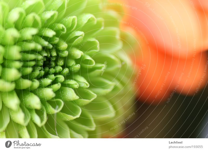 Nature Beautiful Flower Green Plant Colour Blossom Perspective Near Idyll Friendliness Bouquet Macro (Extreme close-up) Spring fever Daisy Family Chrysanthemum