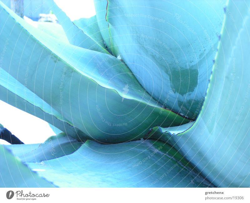 Nature Blue Cactus