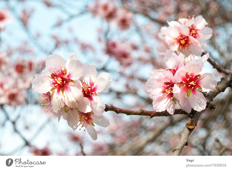 The almond tree pink flowers Garden Environment Nature Plant Sky Spring Tree Flower Leaf Blossom Foliage plant Park Fresh Bright Natural New Soft Blue Yellow