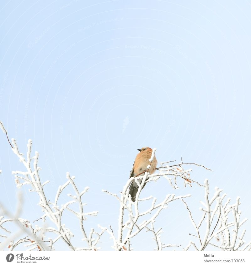 lookout Environment Nature Plant Animal Winter Climate Climate change Ice Frost Snow Tree Branch Wild animal Bird Jay 1 Crouch Looking Sit Free Bright Cold