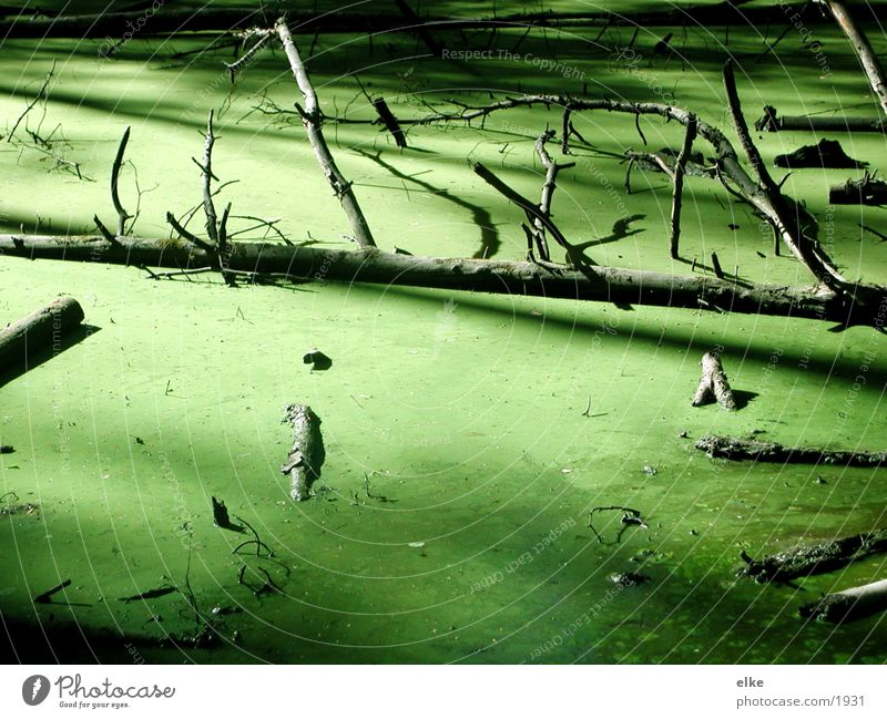 submerged Green Branchage Tree Algae Pond Water entengrüze wallow
