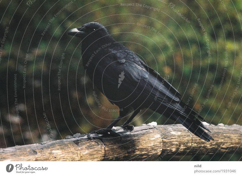 zoo-goer Environment Nature Bushes Park Animal Wild animal Bird Raven birds Crow 1 Black Feather Colour photo Exterior shot Copy Space left Copy Space right Day