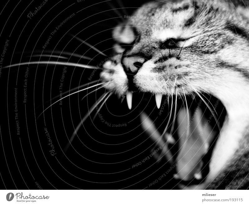 White Black Eyes Animal Cat Power Nose Set of teeth Black & white photo Cute Anger Strong Scream Pet Breathe
