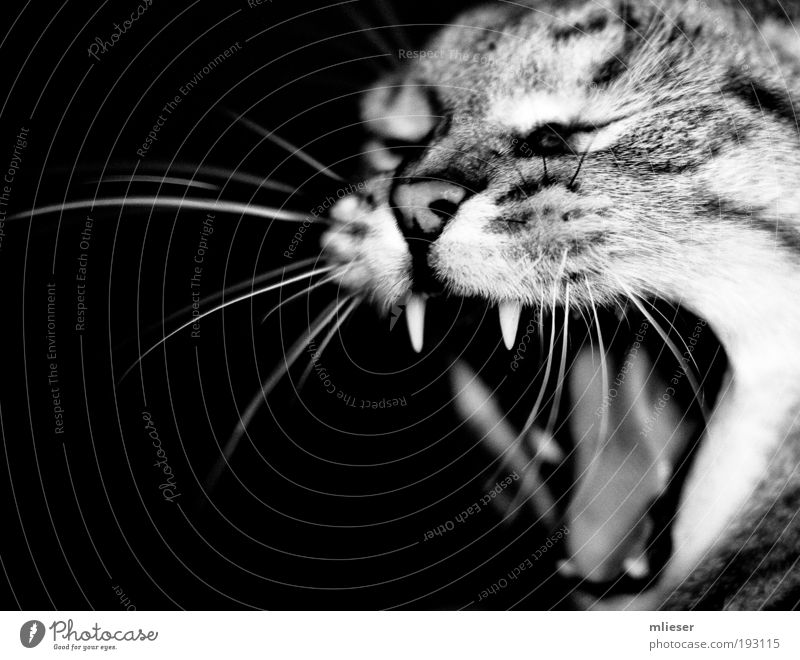 White Black Eyes Animal Cat Power Nose Set of teeth Black & white photo Cute Anger Strong Scream Pet Breathe