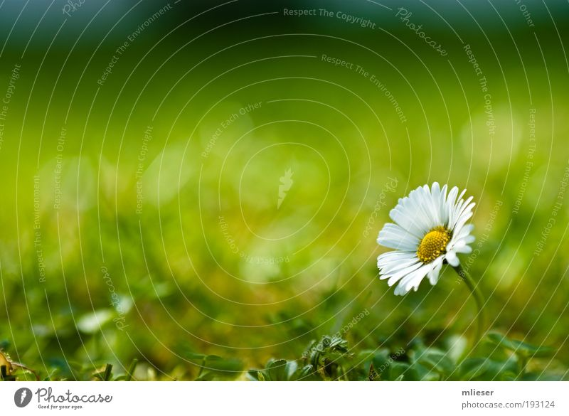 Lonely Daisy Nature Sunlight Plant Flower Grass Bushes Blossom Exceptional Simple Free Friendliness Natural Positive Beautiful Yellow Green White Optimism