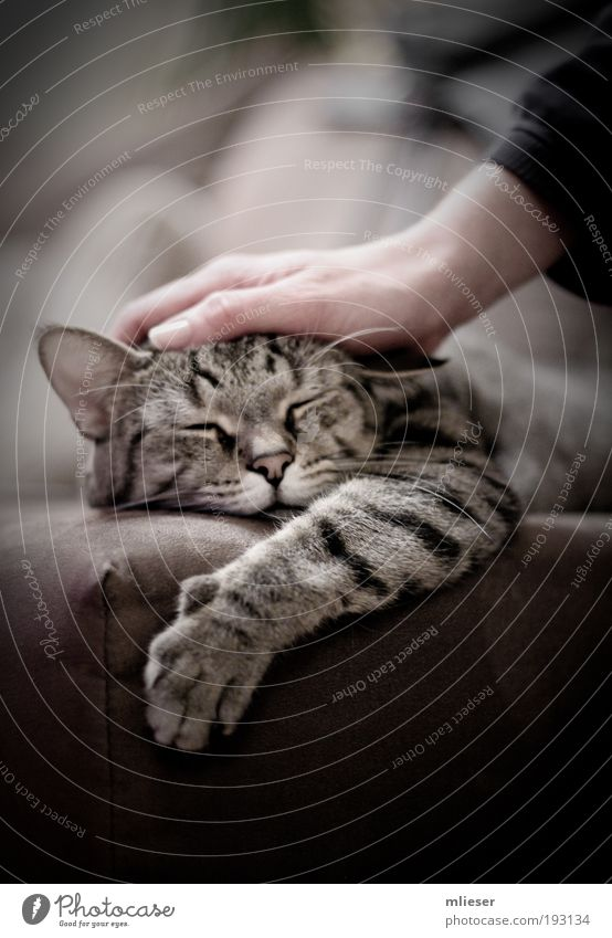 Cat Hand Beautiful Animal Black Relaxation Gray Small Happy Warmth Brown Contentment Lie Sleep Soft Ear