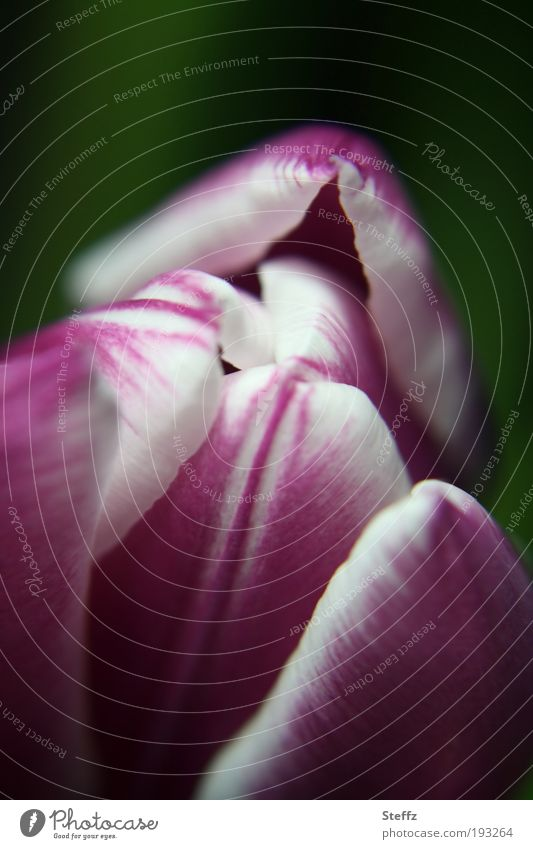 springtime awakening Nature Plant Spring Flower Tulip Blossom Tulip blossom Blossom leave Blossoming Fresh Near Natural Beautiful Soft Violet White Smooth