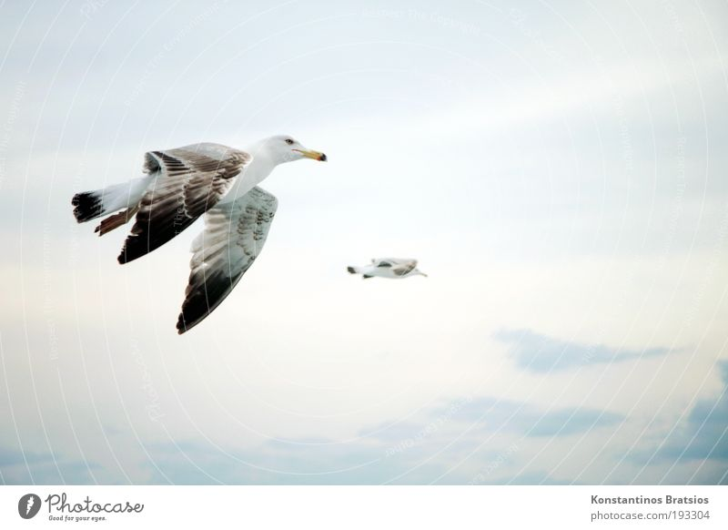 flapping Freedom Nature Sky Clouds Summer Bird 2 Animal Flying Soft Contentment Target Seagull Hover Wing Colour photo Exterior shot Aerial photograph Deserted