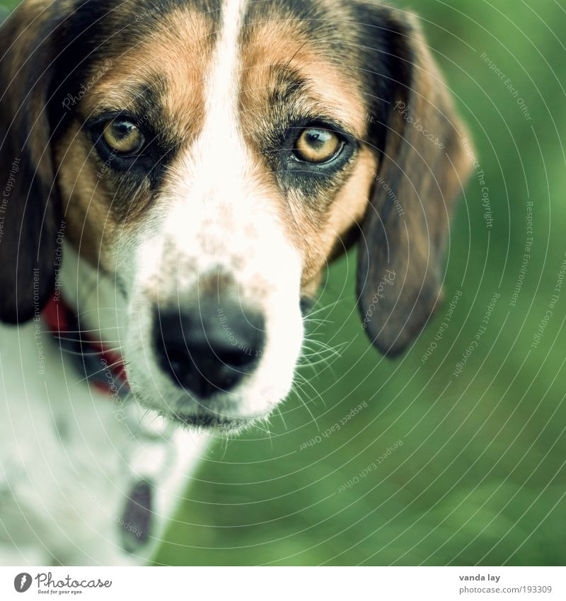 Skeptical Animal Pet Dog 1 Love of animals Loyalty Beagle hound Neckband Dog collar Dog's head Puppydog eyes Dog's snout Dog tag Dog eyes Colour photo