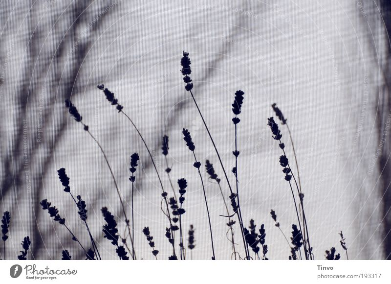 Nature Tree Plant Loneliness Dark Cold Sadness Grief Gloomy Bushes Transience Mysterious Lavender Twigs and branches Reluctance Medicinal plant