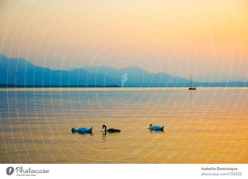 Stille Trip Far-off places Summer Summer vacation Mountain Nature Landscape Water Horizon Sunrise Sunset Fog Hill Lake Lake Chiemsee Boating trip Sailboat Swan