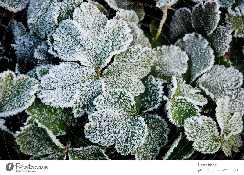 Hardened. Winter Nature Plant Spring Autumn Ice Frost Ivy Leaf Foliage plant Park Growth Cold Green White Willpower Altruism Hope Expectation Power Stagnating