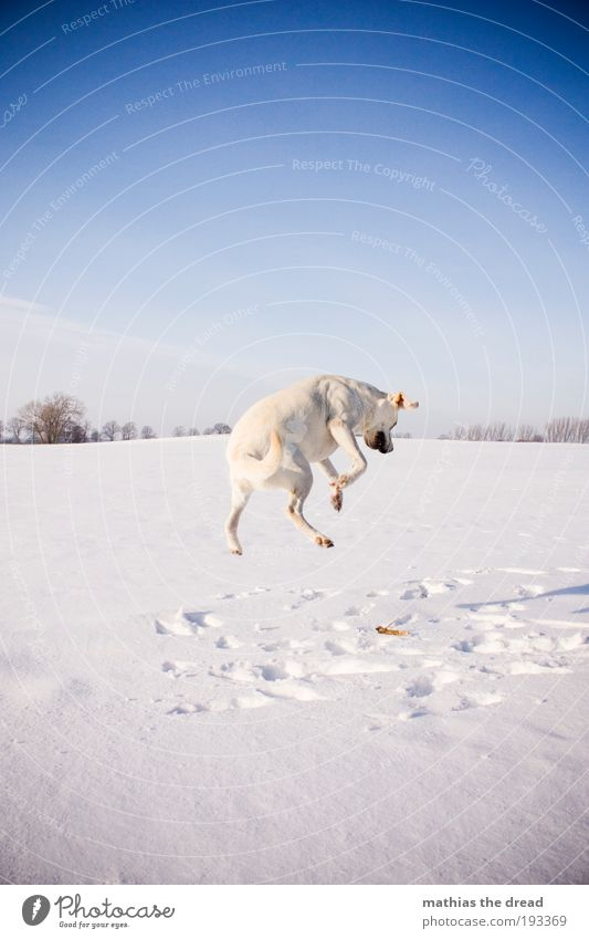 Bunny hop Environment Nature Landscape Cloudless sky Horizon Sunlight Winter Beautiful weather Ice Frost Snow Tree Meadow Field Animal Pet Dog 1 Freeze Jump