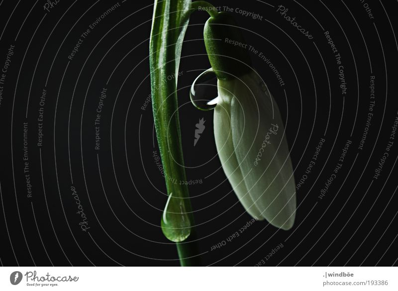 downwards Nature Air Water Drops of water Spring Winter Climate Flower Snowdrop Breathe Blossoming Relaxation Fluid Free Fresh Cold Wet Natural Green Black