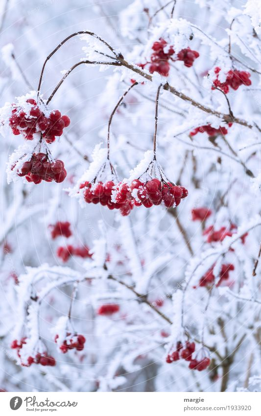 ...but with cream, please! Winter Snow Environment Ice Frost Snowfall Plant Tree Freeze Hang Red White Berries Rowan tree Rawanberry Ice crystal Wet Fruit