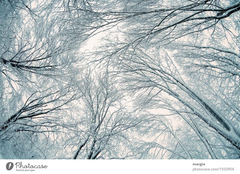 Winter - Current High trees in winter with ice and snow Snow Winter vacation Nature Climate Ice Frost Snowfall Plant Tree Forest Growth Black White Freedom