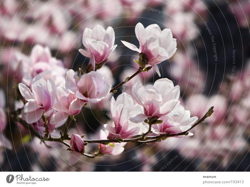 magnolia blossom Fragrance Gardening Market garden Nature Spring Blossom Magnolia blossom Magnolia plants Magnolia tree Friendliness Happiness Fresh Bright Pink