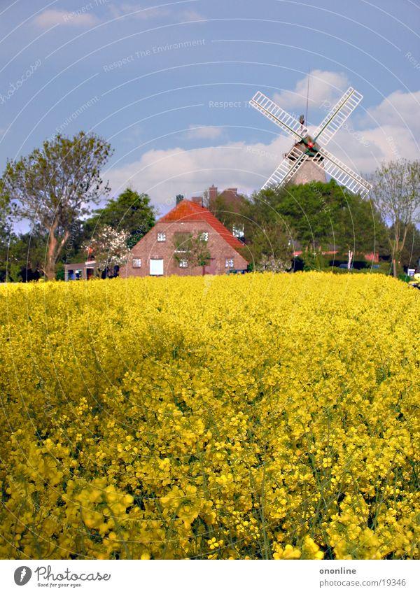 yellow shrinkage Carolinensiel Canola Windmill Farm Coast Yellow Landscape