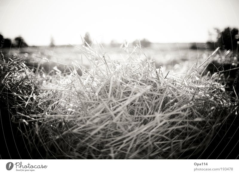 A frequent misery - uh straw Environment Nature Sun Sunlight Summer Beautiful weather Warmth Drought Plant Agricultural crop Field Dirty Thorny Black White
