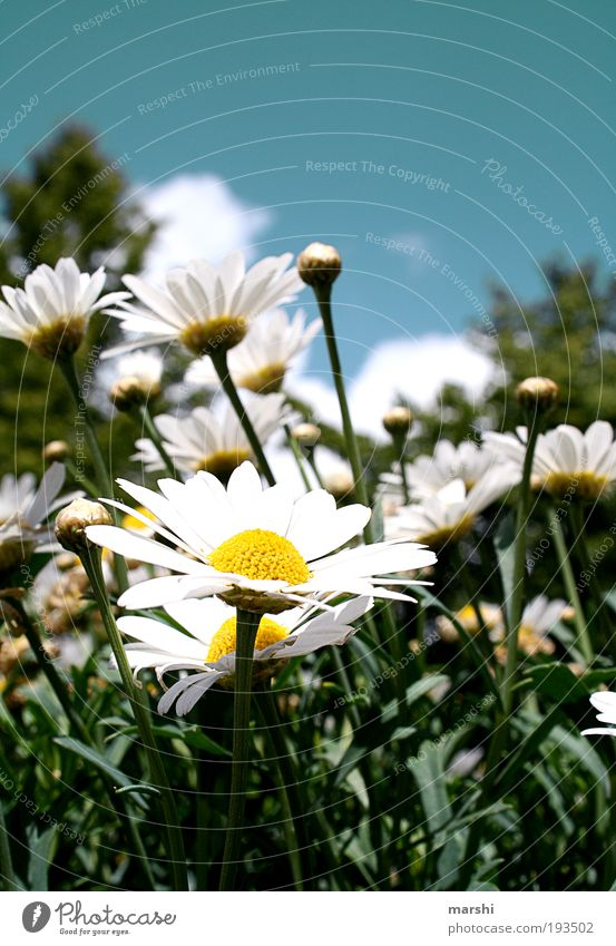 stretch your heads Nature Sky Plant Grass Blossom Park Meadow Blue Yellow Green White Spring Spring flower Marguerite Seasons Bud Leaf Sun Sunbeam Colour photo
