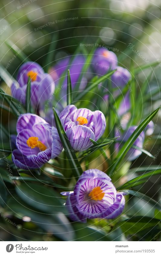 crocus blossom Well-being Senses Fragrance Gardening Market garden Nature Spring Flower Leaf Blossom Crocus Spring flower Spring colours Spring crocus