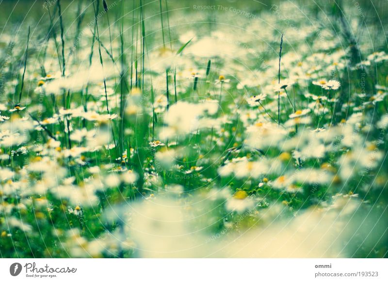 Nature Beautiful White Flower Green Plant Summer Yellow Blossom Grass Spring Happy Field Environment Free Fresh