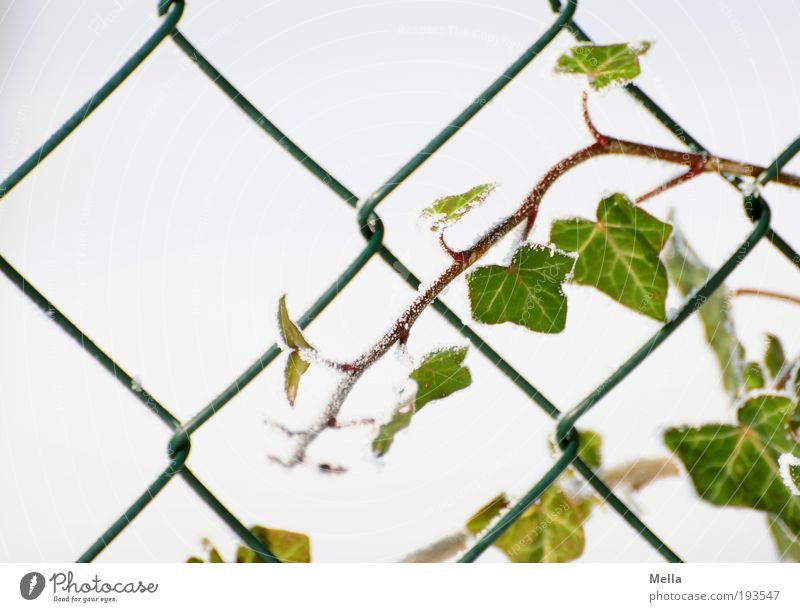 assertiveness Environment Nature Plant Winter Ivy Garden Fence Wire netting Growth Cold Rebellious Green White Network vine Tendril Coil Colour photo