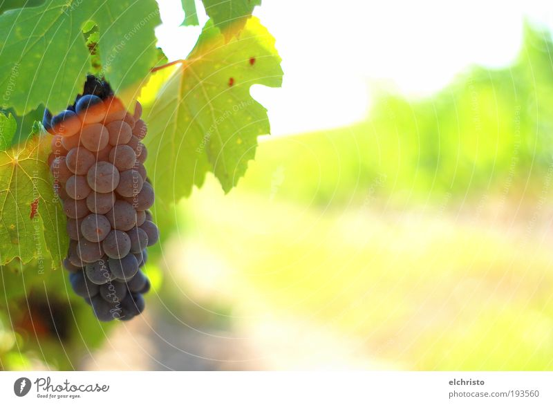 time to harvest Nature Summer Leaf Warm-heartedness Growth Green Vine Bunch of grapes Gamay Grape harvest Red wine Yellow Colour photo Exterior shot