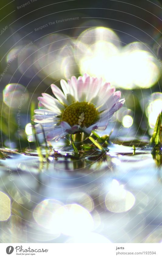 daisies Environment Nature Water Drops of water Sunlight Spring Climate Beautiful weather Plant Flower Park Meadow Fantastic Fresh Glittering Natural Moody