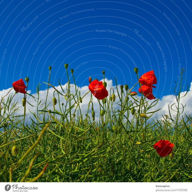 corn poppy Nature Sky Clouds Summer Beautiful weather Plant Tree Leaf Blossom Wild plant Field Fresh Blue Green Red Moody Life Contentment Environment