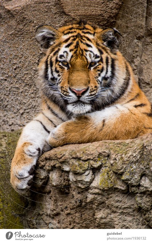 Tiger Look Animal Wild animal Cat Animal face Zoo Stone Rock Sign To enjoy Listening Looking Sit Stand Aggression Athletic Exceptional Famousness Cool (slang)