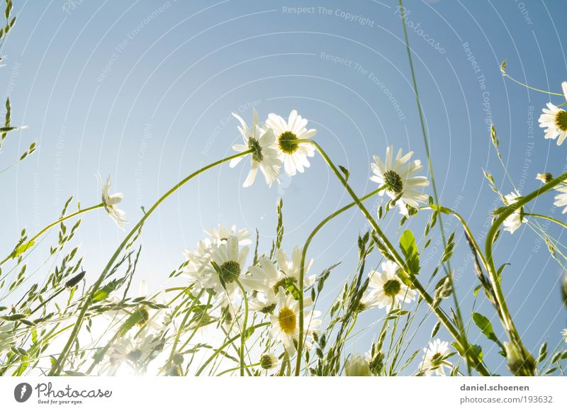 bit.it - Colours Nature Plant Cloudless sky Sun Sunrise Sunset Sunlight Spring Summer Weather Beautiful weather Blossom Meadow Bright Blue White Marguerite