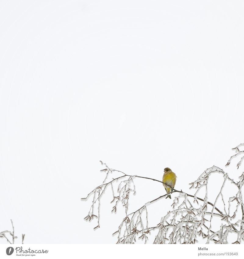 yellow Environment Nature Plant Animal Sky Winter Climate Climate change Ice Frost Snow Tree Branch Treetop Bird Finch 1 Crouch Sit Free Bright Cold Small