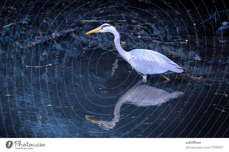 legless Environment Nature Animal Water Pond Lake Bird Speed Foraging Search Stride Calm Heron Grey heron Great egret Reflection Beak Feather Exterior shot