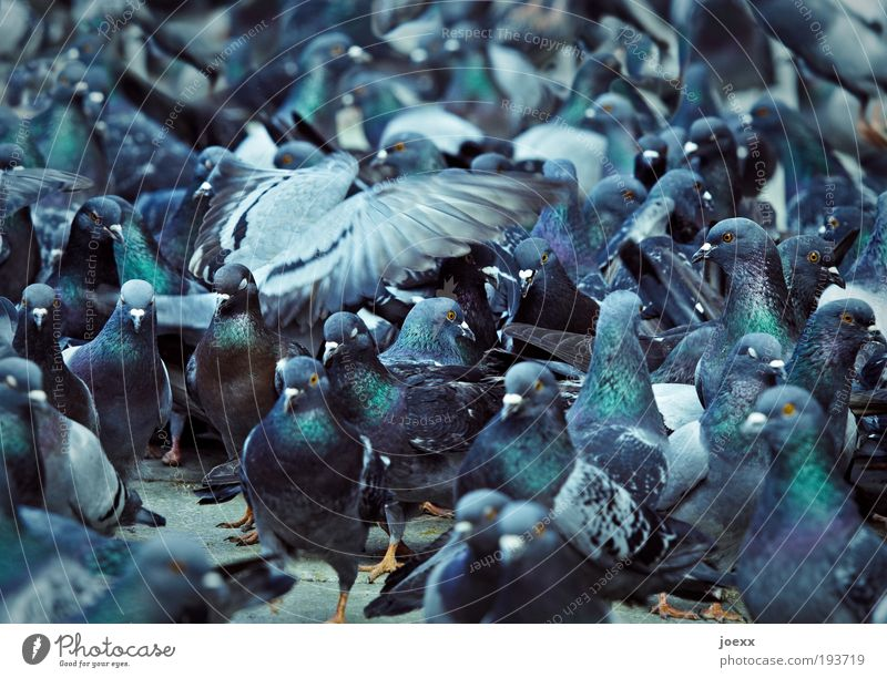 Blue Bird Together Wing Group of animals Narrow Chaos Bizarre Muddled Pigeon Animal To feed Aggression Feeding