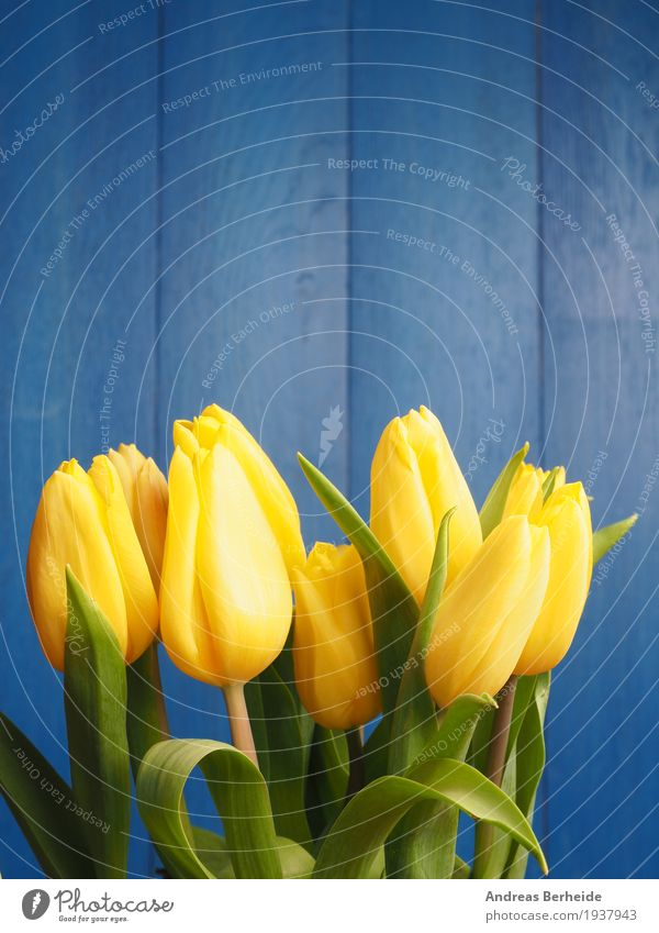 Yellow tulips Mother's Day Easter Nature Plant Spring Flower Tulip Bouquet Fragrance Beautiful Blue decoration table natural copy green march holiday
