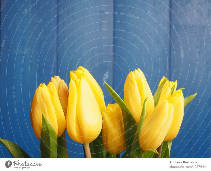 Yellow tulips before blue Nature Plant Tulip Bouquet Love Jump easter Background picture beautiful blossom celebration copy copyspace decoration flower green