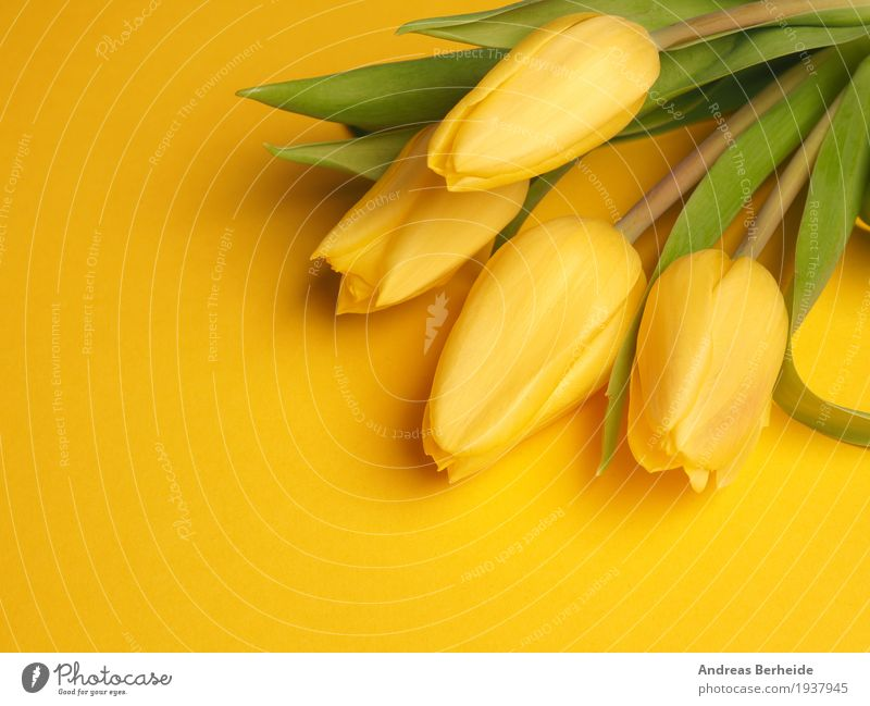 Four yellow tuples Nature Plant Spring Flower Tulip Bouquet Love Fragrance Beautiful Yellow easter Background picture blossom celebration copy copyspace