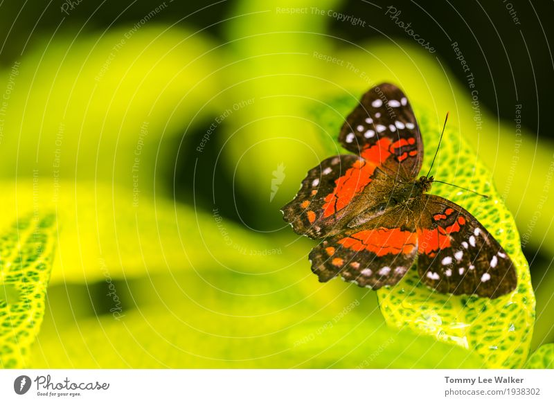 Common tiger butterfly contrasting to green leaf Exotic Beautiful Freedom Garden Dance Valentine's Day Infancy Environment Nature Earth Flower Butterfly Flying