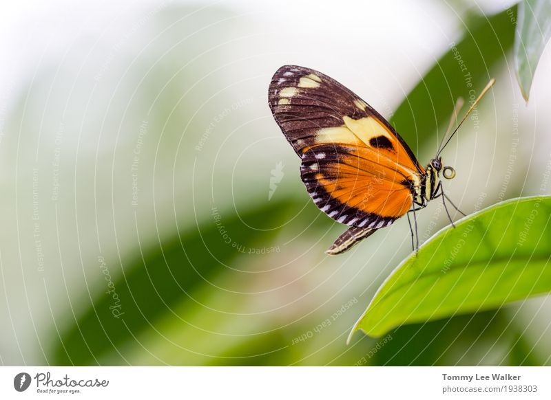 Common Tiger butterfly profile portrait Exotic Beautiful Freedom Garden Dance Valentine's Day Infancy Environment Nature Earth Flower Butterfly Flying Love