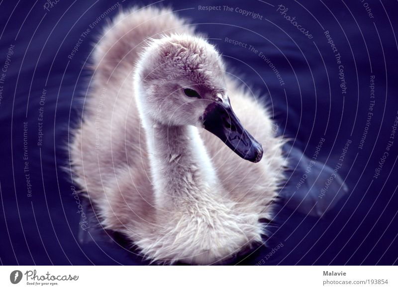 swan baby Nature Beautiful weather Lake Animal Swan 1 Baby animal Observe Discover Looking Curiosity Cute Blue White Moody Contentment Spring fever Protection